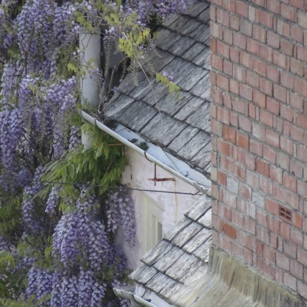 Creeper vines can be attractive but must be kept clear of gutters